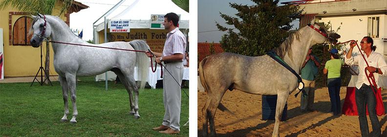 Cavallo Purosangue Arabo Egiziano
